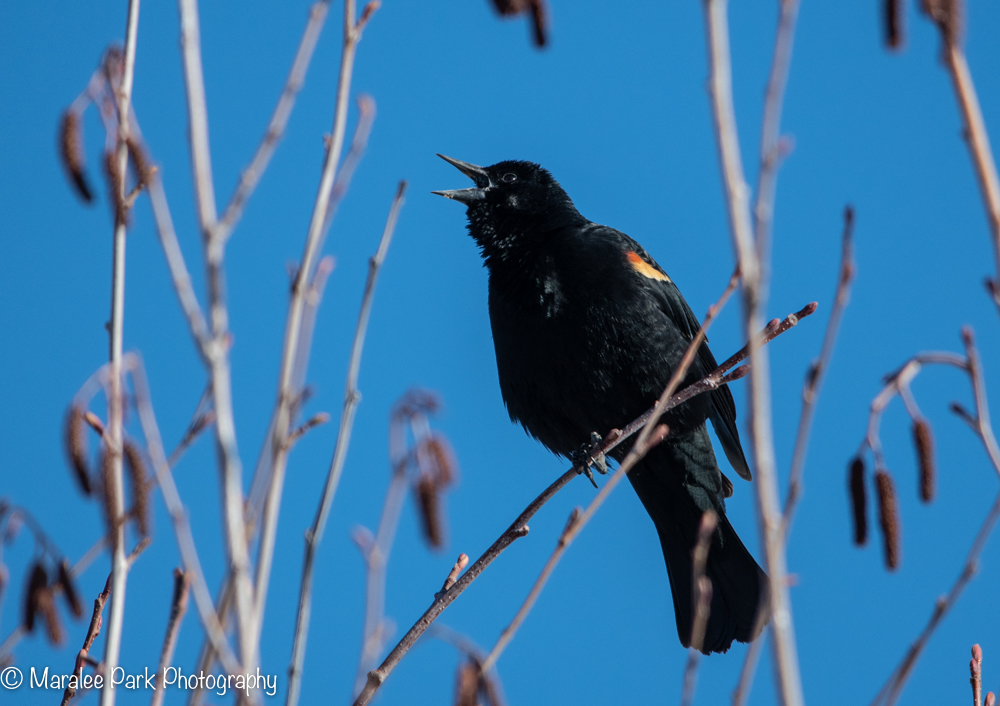 Red-winged blackbird calling out