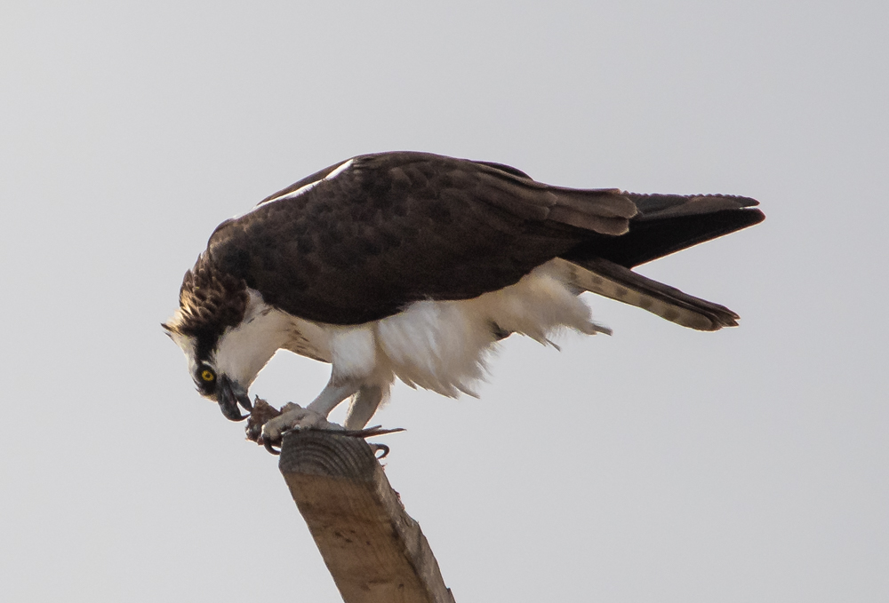 Osprey eating lunch